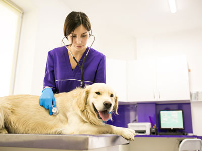 Female vet assistant examines yellow Lab in clean vet exam room